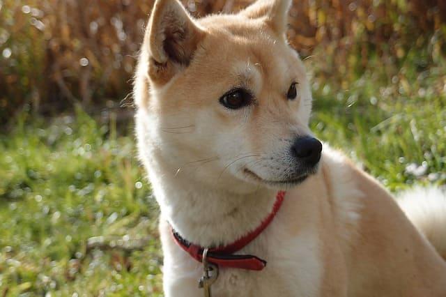 イチロー選手の愛犬 一弓(いっきゅう)の画像や犬種!年は18歳?宗郎(ムネロー)もいた。